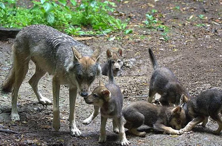Волк-вдовец решил сам растить пятерых волчат