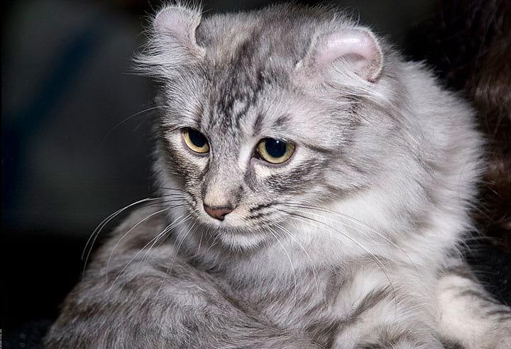 Хотите кошку за 18000 евро? Самые дорогостоящие кошки в мире.
