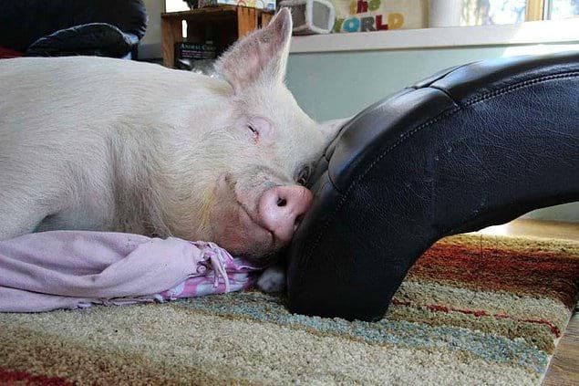 Свиньи здесь застрахованы от съедения