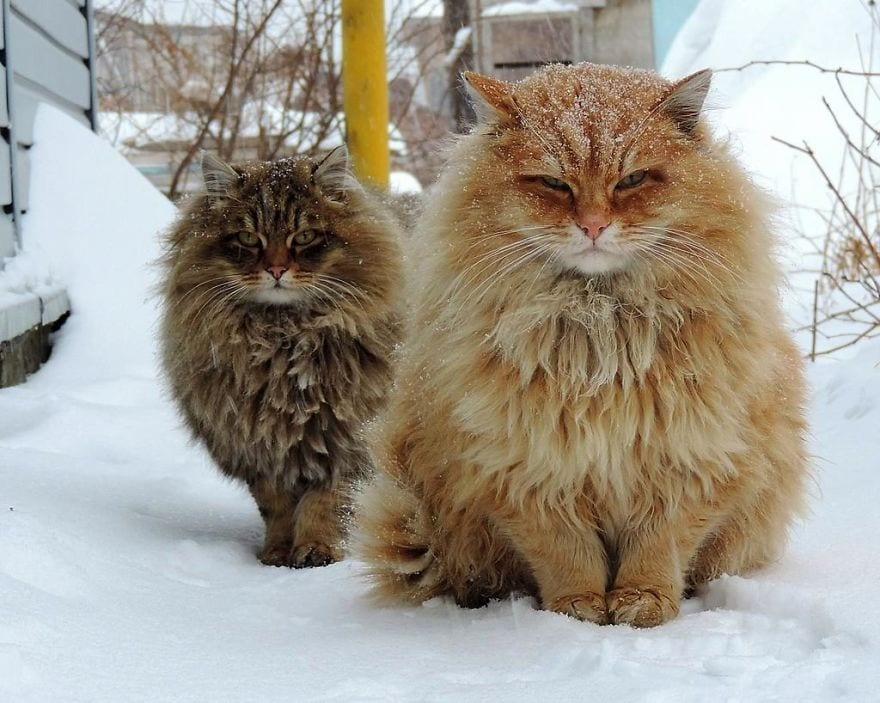 Женщина из Барнаула разводит сибирских котов, собирая целую армию, и вы сдадитесь им без единого выстрела