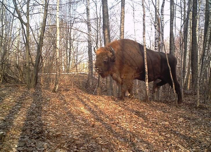30 фото из лесов Чернобыля. Фотокамеры фиксируют невероятные вещи!