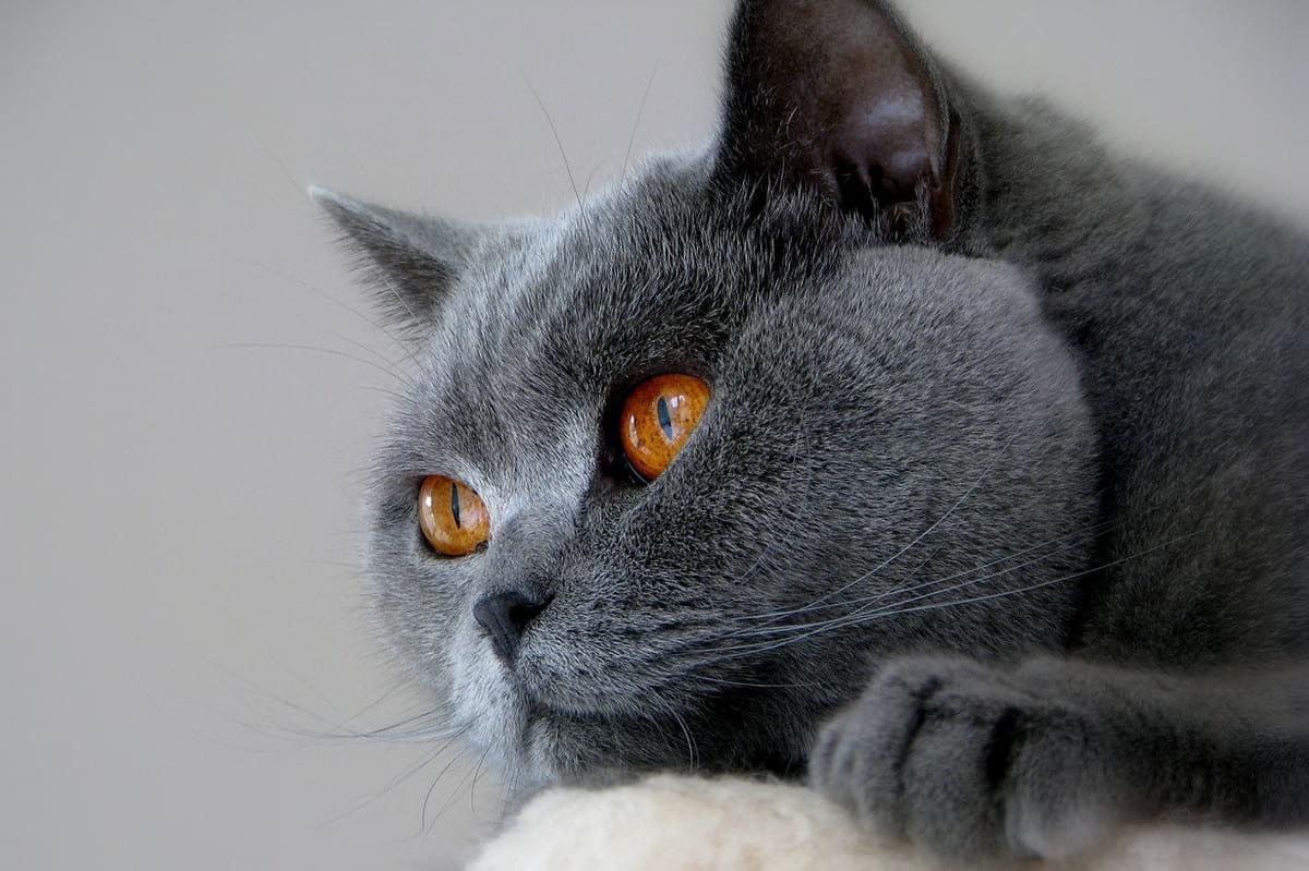Самые красивые благородные породы кошек