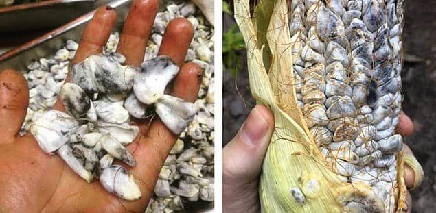 Плесневелая кукуруза или Ustilago Maydis