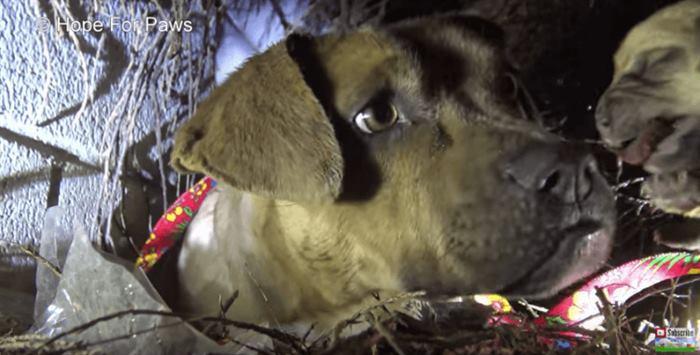 Мама-питбуль целовала каждого щенка, которого забирали люди. Она думала, что не увидит их больше…