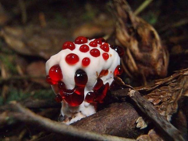 Это так похоже на шедевральный десерт, но на самом деле это очень горький гриб под названием Гиднеллум Пека
