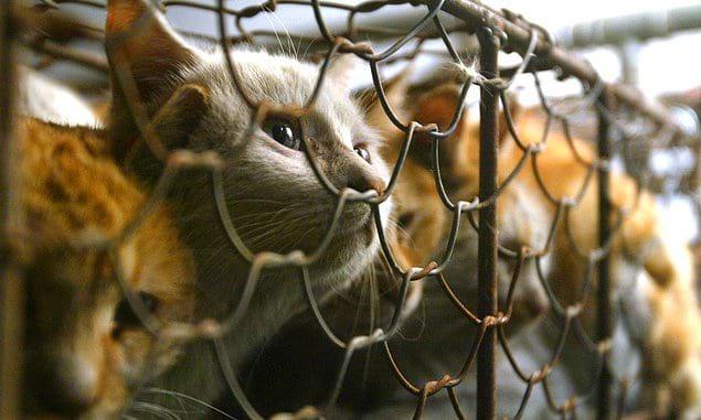 Каждый день в провинции Гуандун съедается около 10 000 кошек.