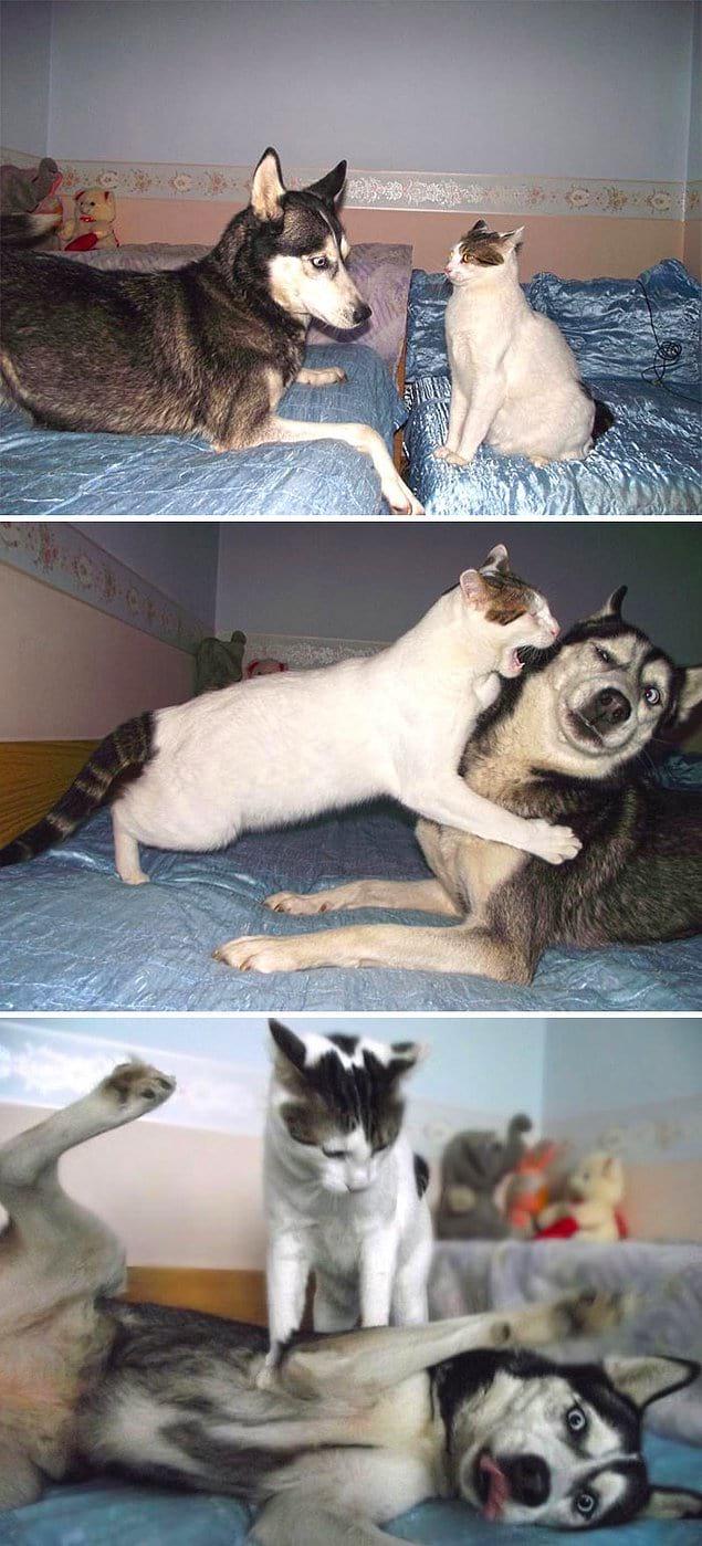 Кот vs. хаски