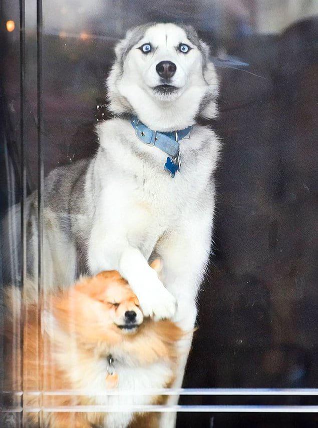 «Собака моей девушки, когда кто-то подходит к двери»