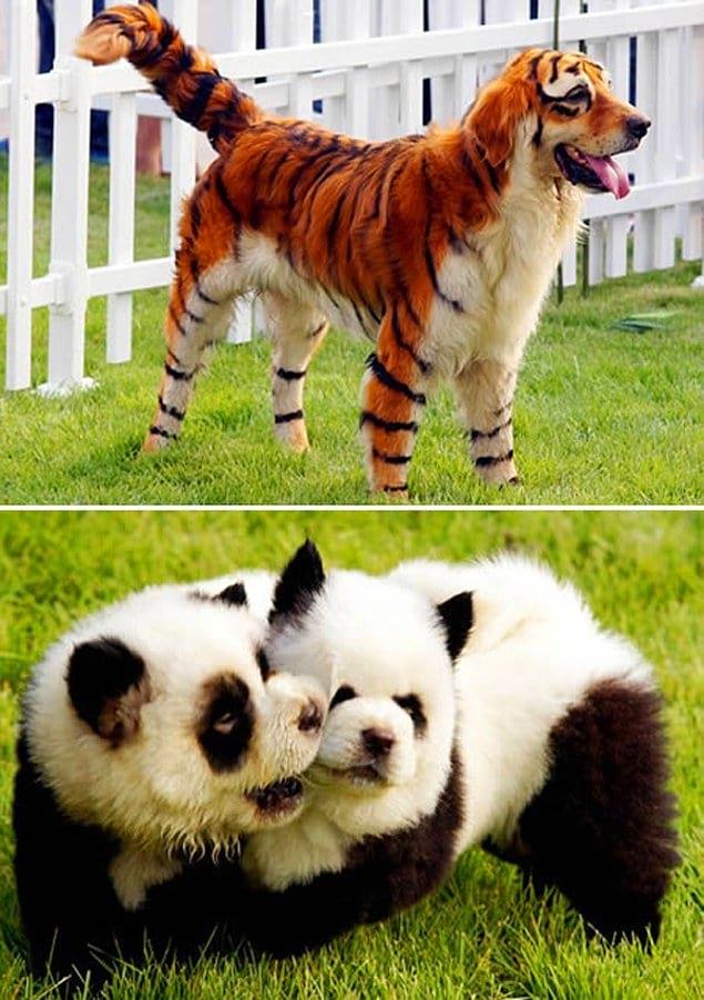 У китайцев сравнительно недавно появилась мода красить своих собак, чтобы они становились похожими на диких зверей.