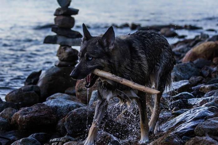 Волкособы — 60-килограммовые нежные гиганты, которые очень любят обниматься