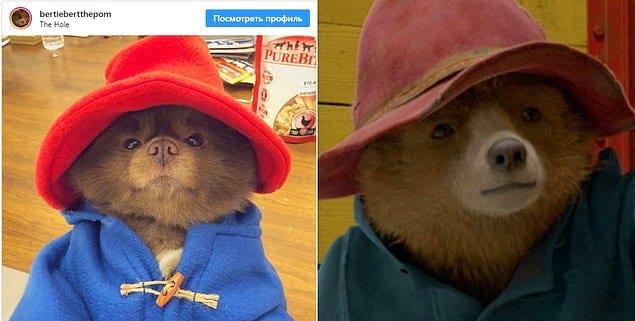 А недавно в Инстаграме выложили фото шпица в костюмчике медведя Паддингтона. И их просто не отличить друг от друга!