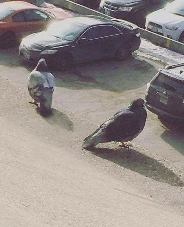 Голуби будто бы ищут, где они припарковали свои тачки 🤣