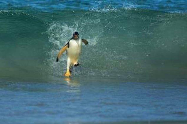 Как вам этот пингвин-сёрфер?