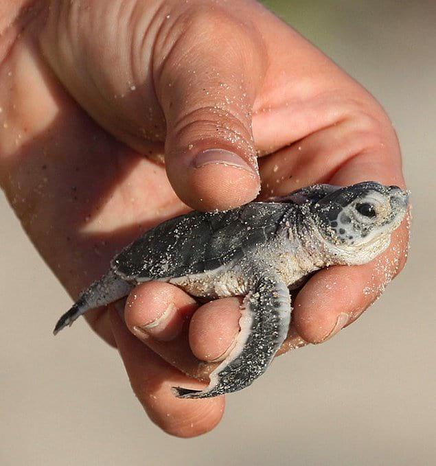 Черепах съедают, разоряют их гнезда, загрязняют среду обитания