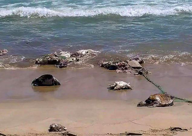 Из-за всего этого популяция морских черепах находится под угрозой исчезновения