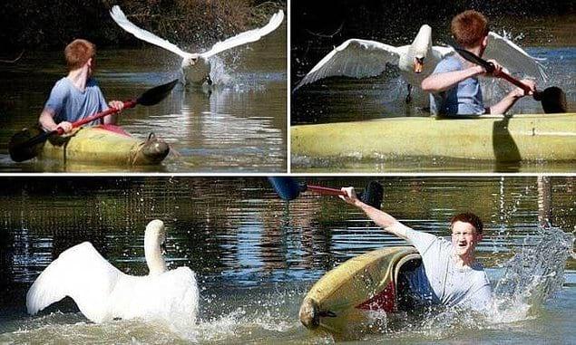 Лебедь-маньяк