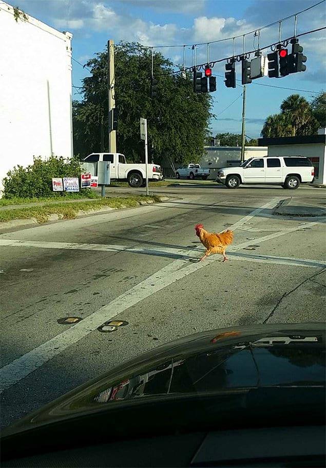 """""""Мой друг рассказывал, что каждое утро, когда он едет на работу, дорогу перебегает курица, естественно, ему никто не верил... Пока он не предоставил доказательства"""""""