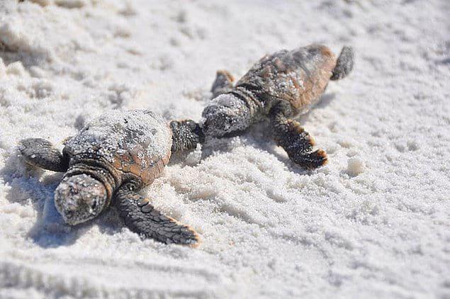 Морские черепахи живут на планете уже десятки миллионов лет, но с появлением человека этим животным приходится очень нелегко