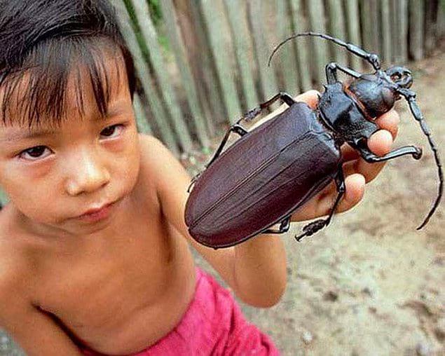 Эти жуки в Южной Африке достигают длины в 17 сантиметров!