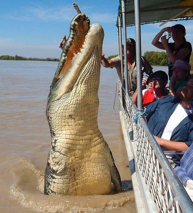 Это Брут - крокодил длиною около 5 с половиной метров, которому, как полагают, исполнилось 80 лет.