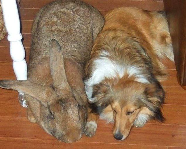 Этот фламандский кролик словно собака среднего размера! Длина самого крупного кролика составила 129 сантиметров.