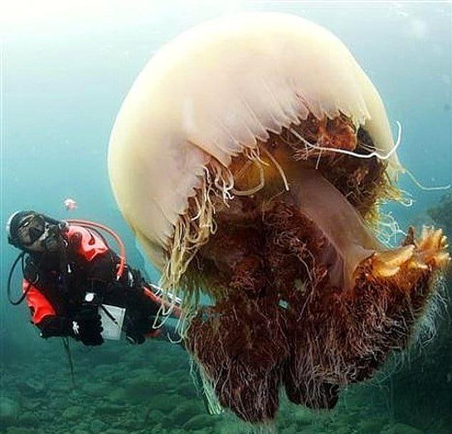 Медуза Номура - одна из крупнейших в мире. Размер взрослой особи больше человека среднего роста!