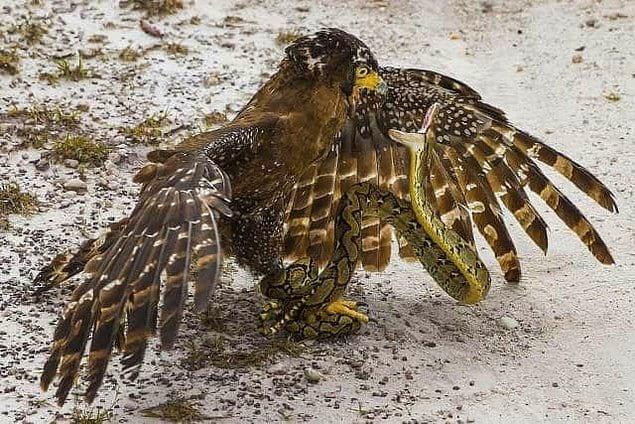 Орел явно пожалел о своем выборе блюда на ужин