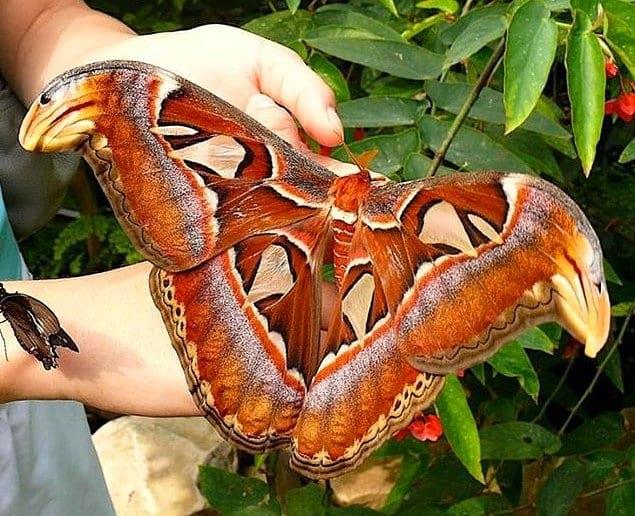 Павлиноглазка атлас - одна из самых крупных бабочек на нашей планете!