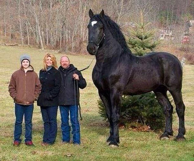 Першеронские лошади известны своим размером. Разве эта лошадь не объединяет в себе и силу и красоту?