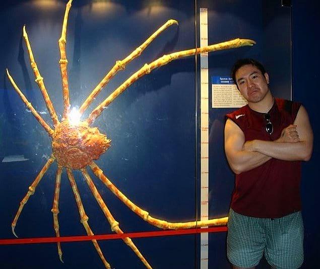 Познакомьтесь с японским крабом-пауком, обладающим самыми длинными ногами в мире!