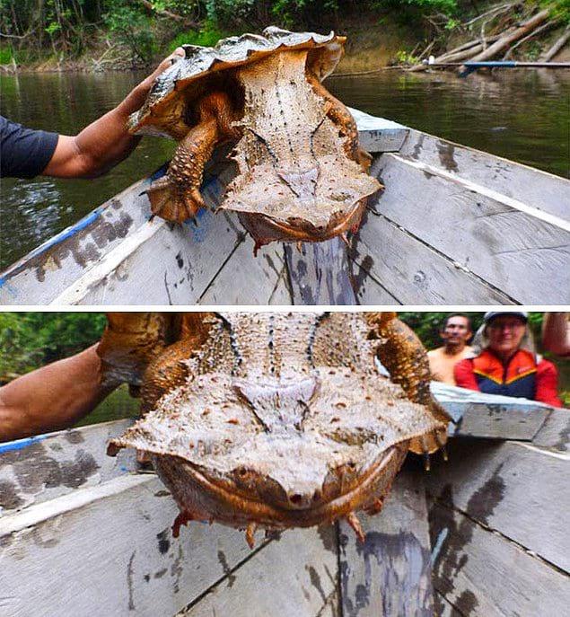 Бахромчатая черепаха: