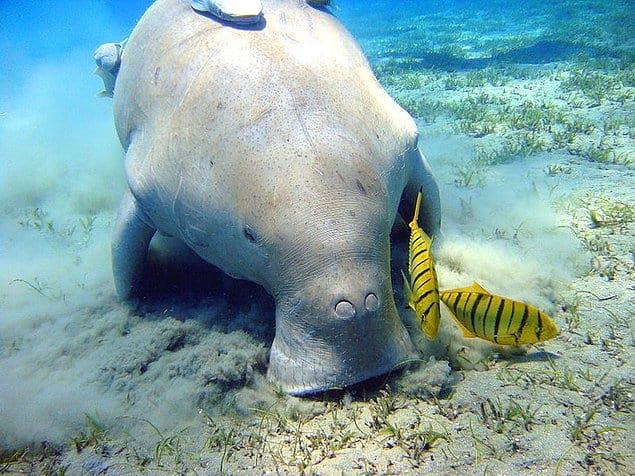 Дюгонь - млекопитающее, обитающее в водах Красного моря и Индийского океана и питающееся растениями: