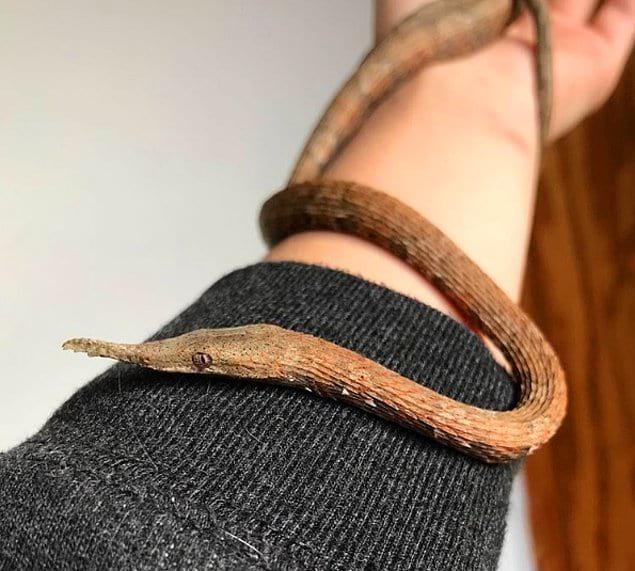 Мадагаскарская змея с носом в виде листка: