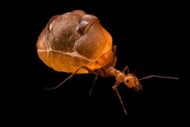 Мексиканские медовые муравьи: