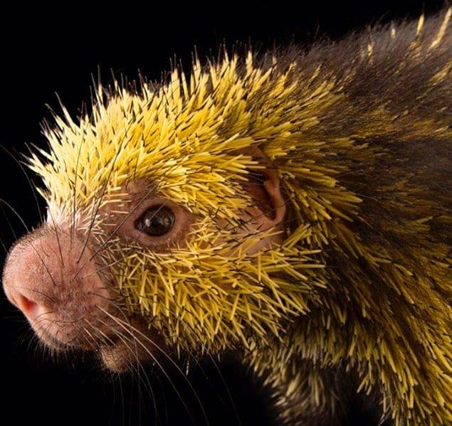 Мексиканский волосатый карлик: