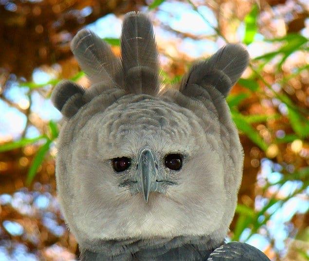 Серый морской орел: