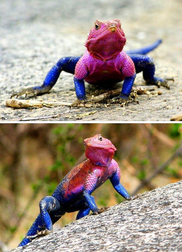 Ящерица в костюме Человека-паука: