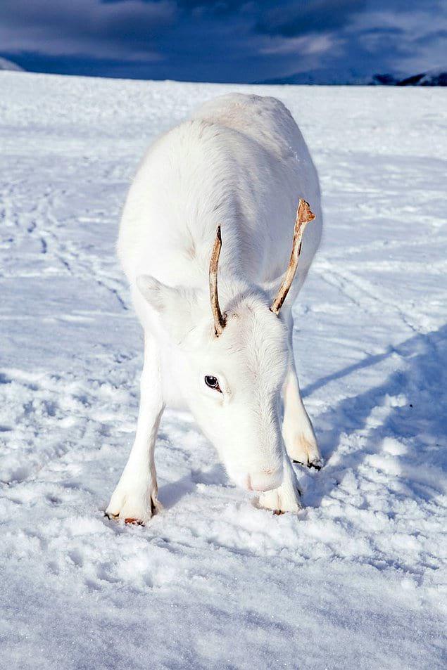 Белые северные олени являются носителями редкой мутации, при которой у них исчезает пигмент, что позволяет животным полностью сливаться со снегом.