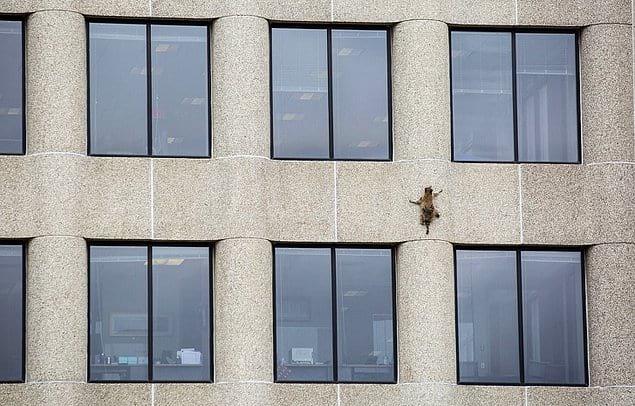 Енот, пытающийся взобраться на высотку UBS в Сент-Поле, штат Миннесота.