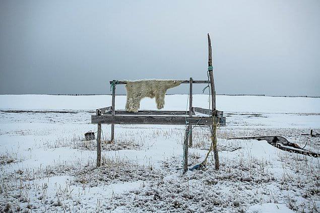 Подготовка шкуры белого медведя к продаже, Аляска.