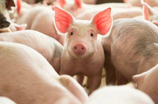 Половина всего населения свиней в мире живет в Китае