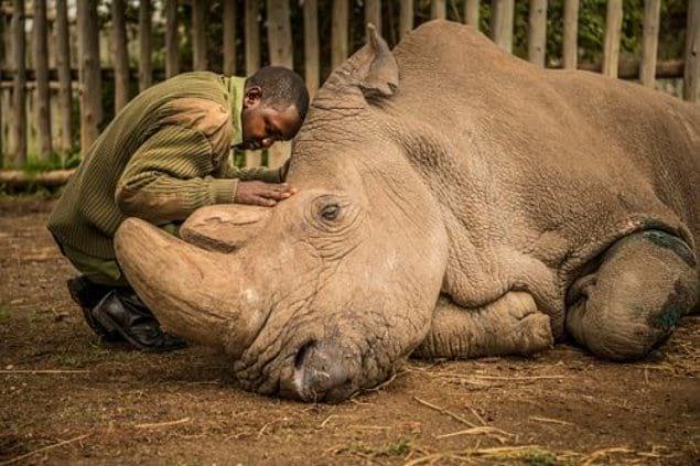 Прощание с последним самцом северного белого носорога.