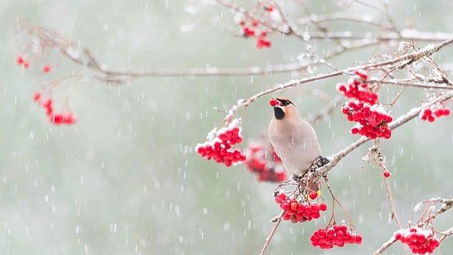 """В категории """"Экология"""" лучшим стал снимок свиристели, поедающей ягоды под снегом. Автор Альвина Хардбенбола"""