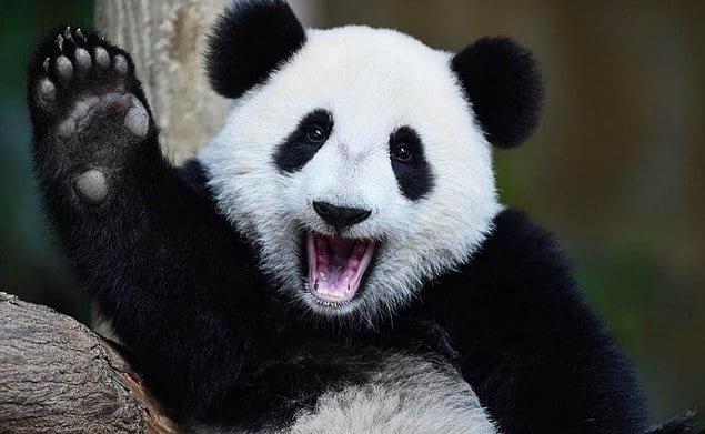 Все панды мира технически одолжены у Китая