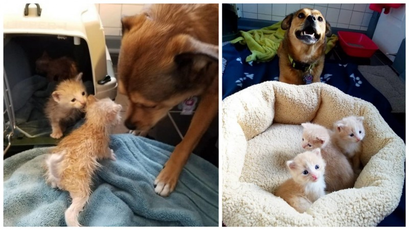 Пес нашел брошенных котят и стал им папой