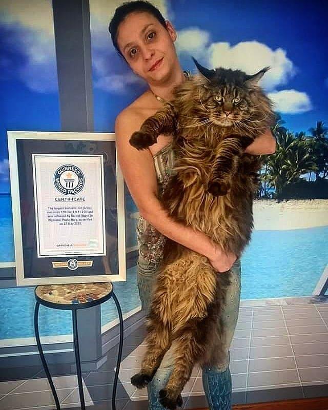 Этот кот официально самый длинный в мире. Его хобби: кататься в детской коляске и дивить прохожих
