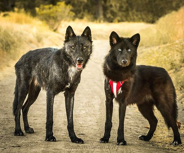 98% от волка и 40% от волка.