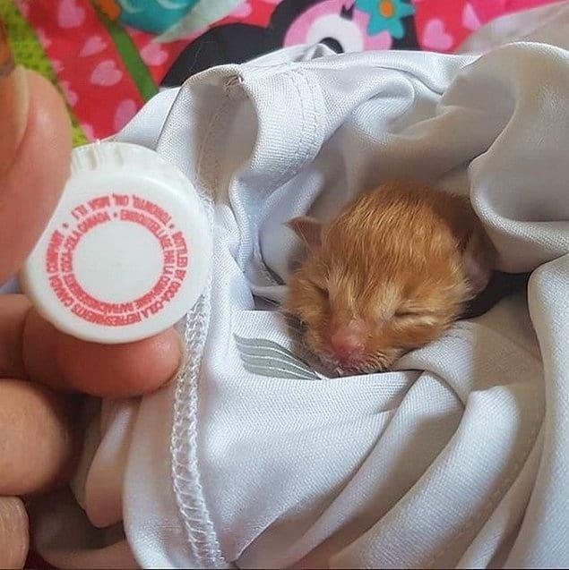 Голова новорожденного котенка размером с крышку от бутылки