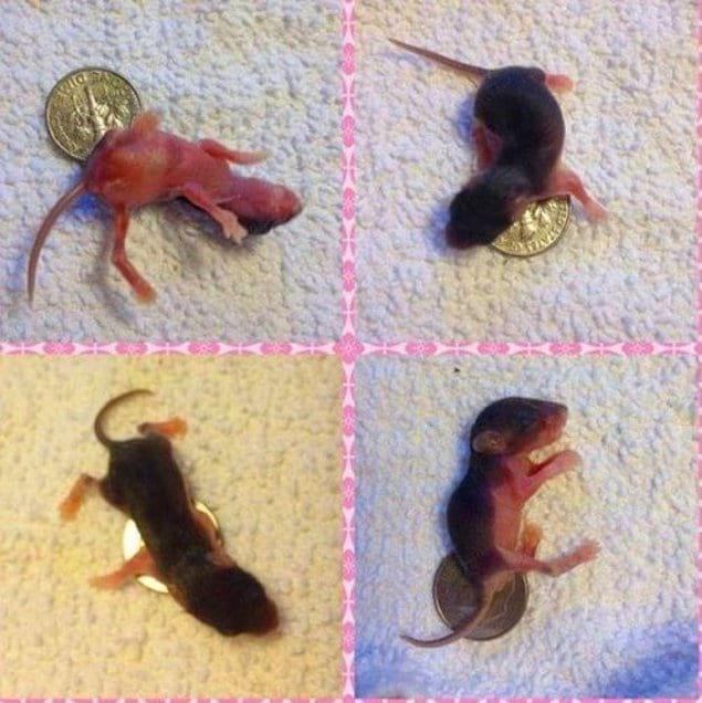Маленькие мышата, которым 6 дней отроду