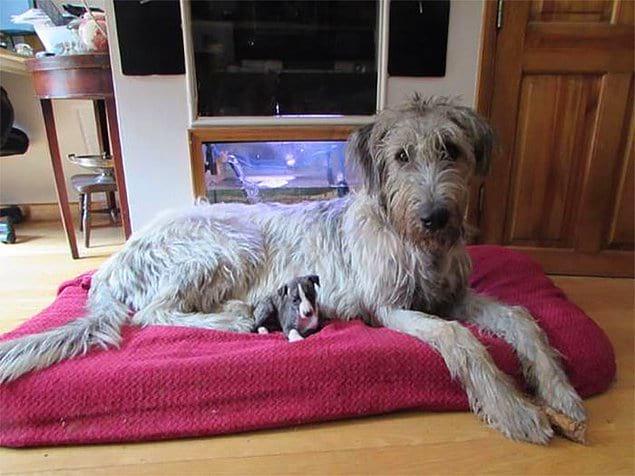 """""""Наш новый щенок породы Уиппет, сидящий со своим другом, щенком породы Ирландский волкодав""""."""